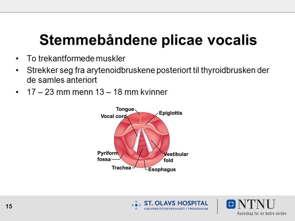 15 Stemmebåndene plicae vocalis To trekantformede muskler Strekker seg fra arytenoidbruskene posteriort til thyroidbrusken der de samles anteriort 17 – 23 mm menn 13 – 18 mm kvinner