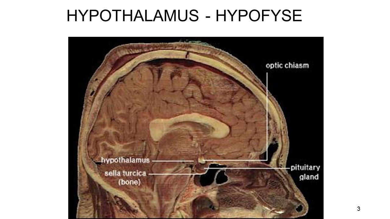 3 HYPOTHALAMUS - HYPOFYSE