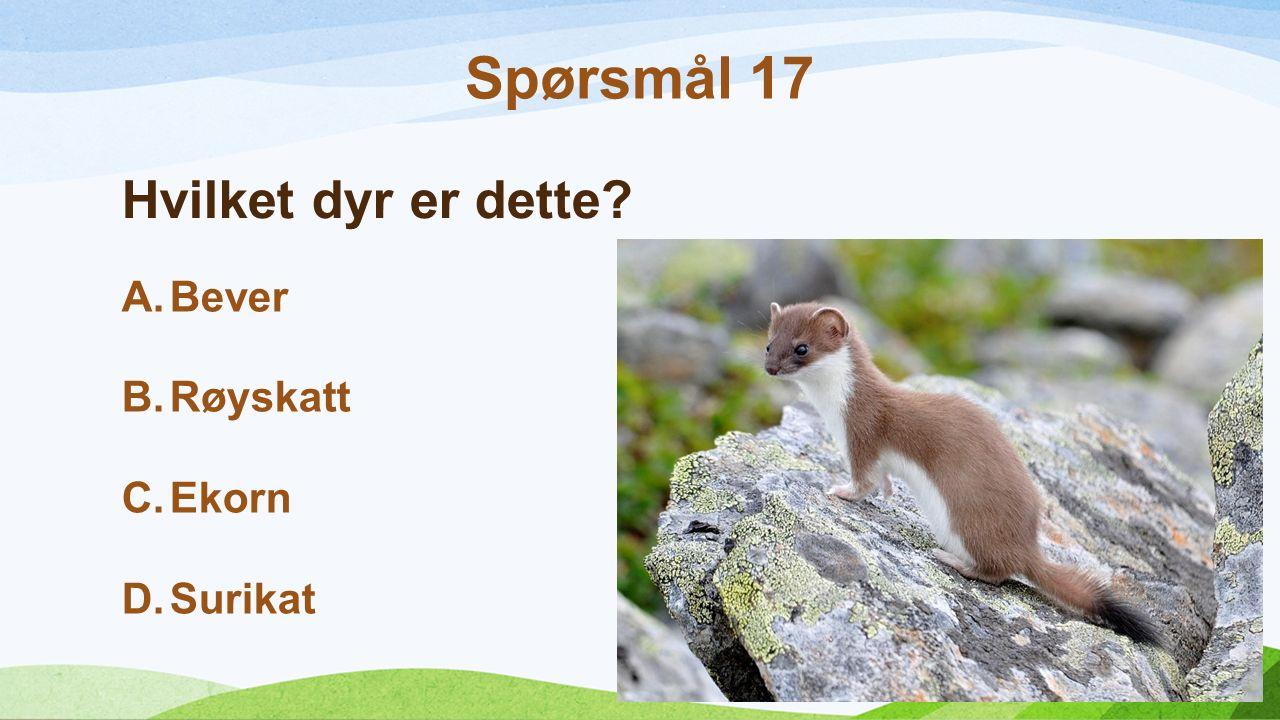 Hvilket dyr er dette? A.Bever B.Røyskatt C.Ekorn D.Surikat Spørsmål 17