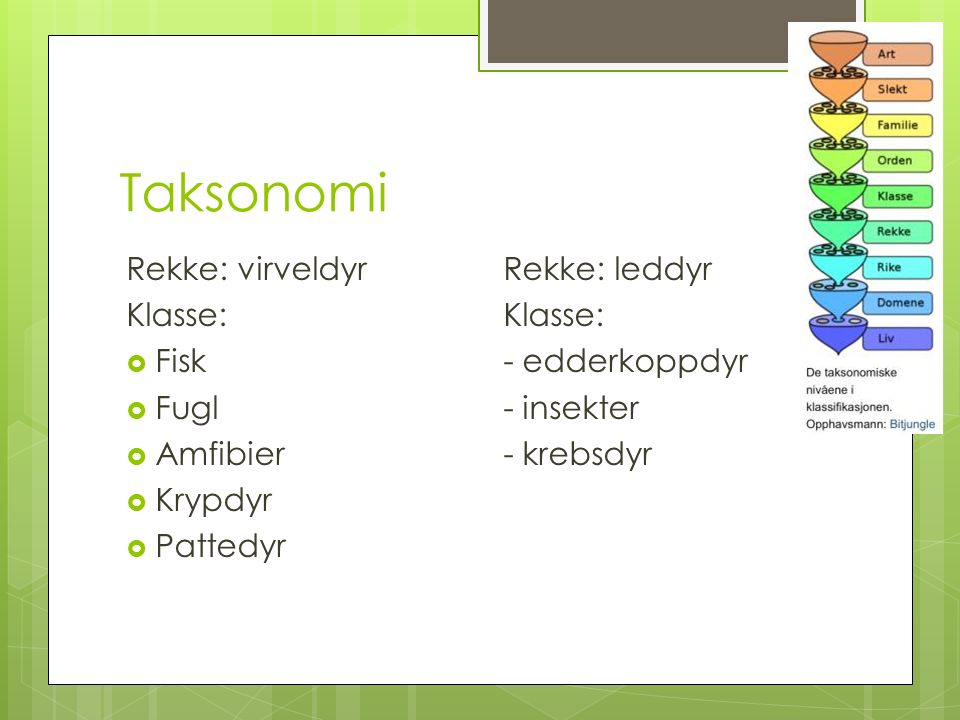 Taksonomi Rekke: virveldyr Rekke: leddyr Klasse:  Fisk- edderkoppdyr  Fugl- insekter  Amfibier- krebsdyr  Krypdyr  Pattedyr