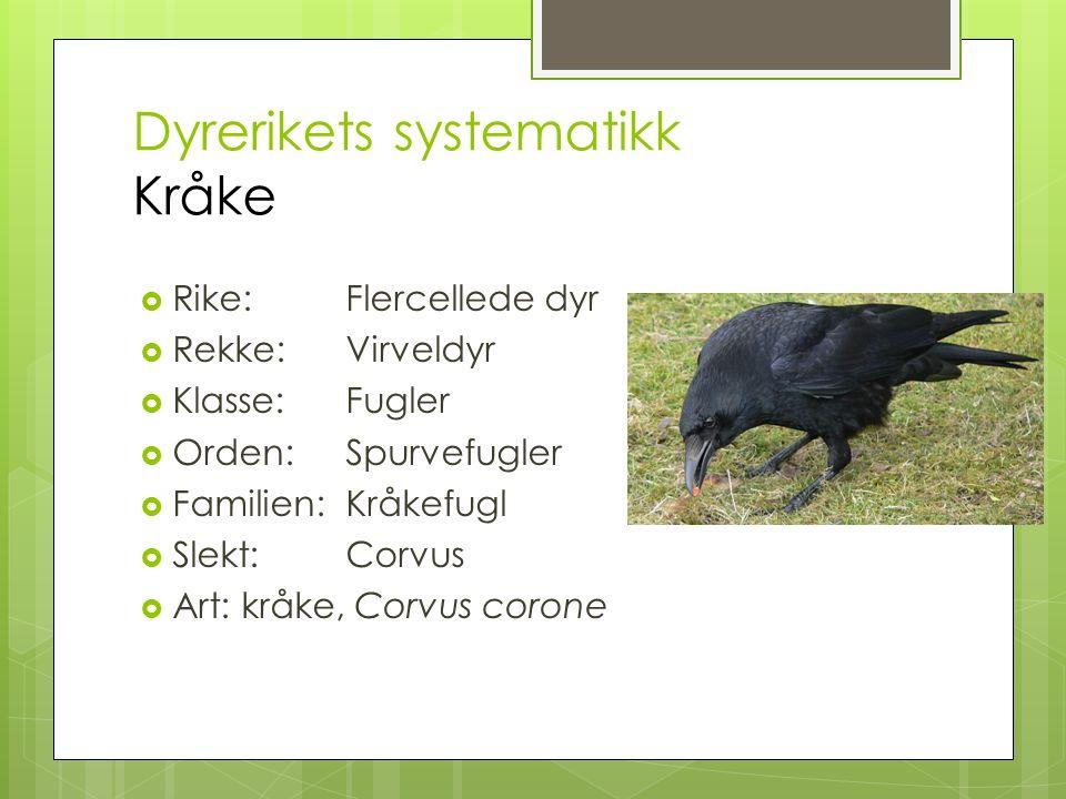 Dyrerikets systematikk Kråke  Rike: Flercellede dyr  Rekke: Virveldyr  Klasse: Fugler  Orden: Spurvefugler  Familien:Kråkefugl  Slekt: Corvus  Art: kråke, Corvus corone