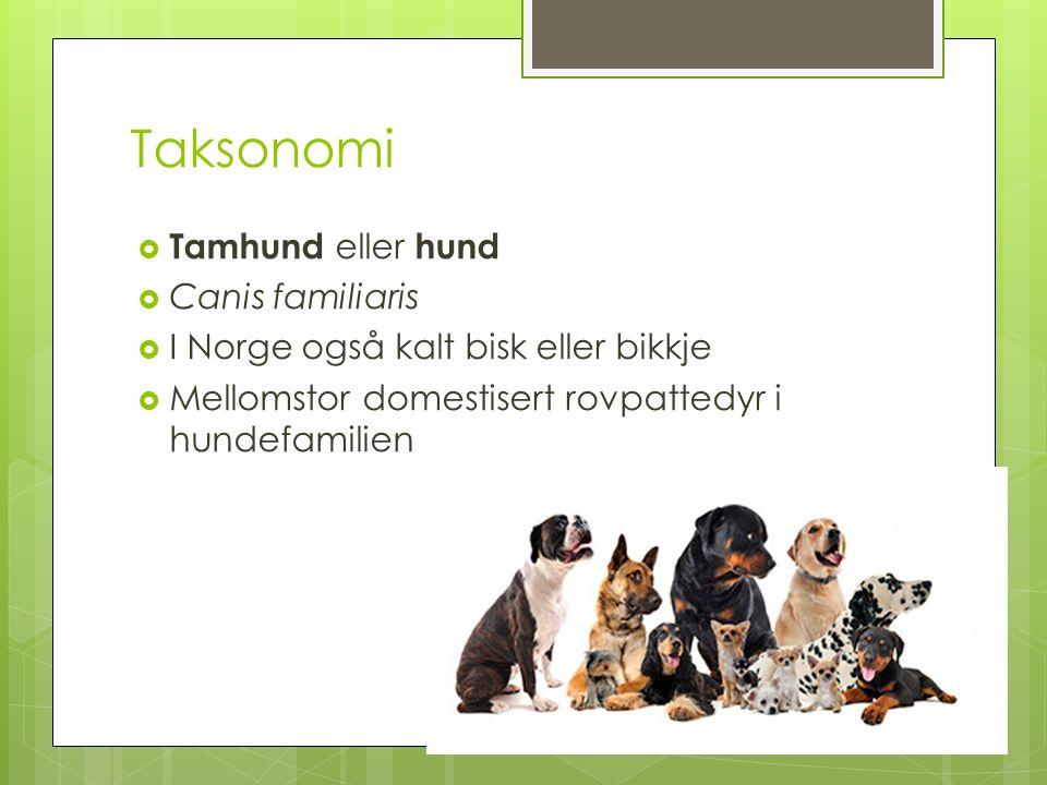 Taksonomi  Tamhund eller hund  Canis familiaris  I Norge også kalt bisk eller bikkje  Mellomstor domestisert rovpattedyr i hundefamilien