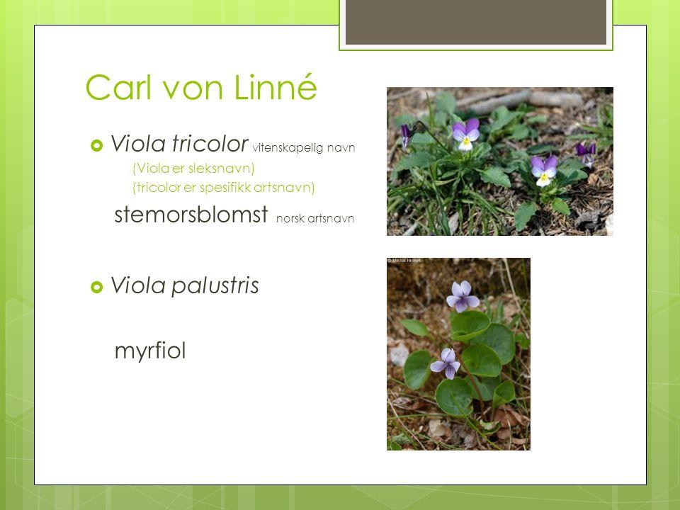Carl von Linné  Viola tricolor vitenskapelig navn (Viola er sleksnavn) (tricolor er spesifikk artsnavn) stemorsblomst norsk artsnavn  Viola palustris myrfiol
