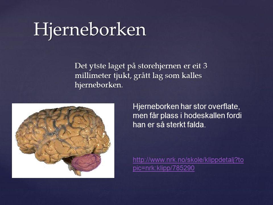 Det ytste laget på storehjernen er eit 3 millimeter tjukt, grått lag som kalles hjerneborken.