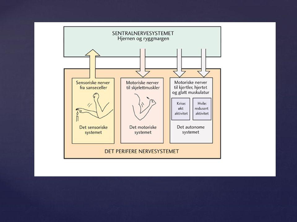 { Nervecelle - sender og tek i mot informasjon Nervecelle - sender og tek i mot informasjon Ei nervecelle består av tre delar: ein cellekropp ein cellekropp korte utløparar som kallast dendrittar korte utløparar som kallast dendrittar ein lang utløpar som kallast akson.