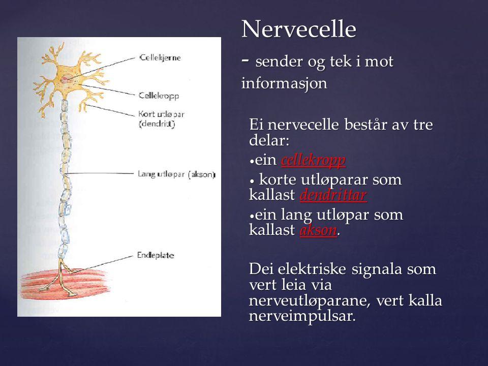  korte utløparane frå kvar celle  tek imot og leier nerveimpulsar inn i cellekroppen.