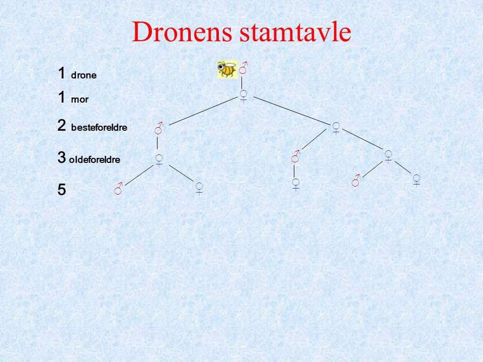 Dronens stamtavle ♂ ♂ ♂ ♂ ♂ ♀ ♀ ♀ ♀ ♀ ♀ ♀ 1 drone 1 mor 2 besteforeldre 3 oldeforeldre 5