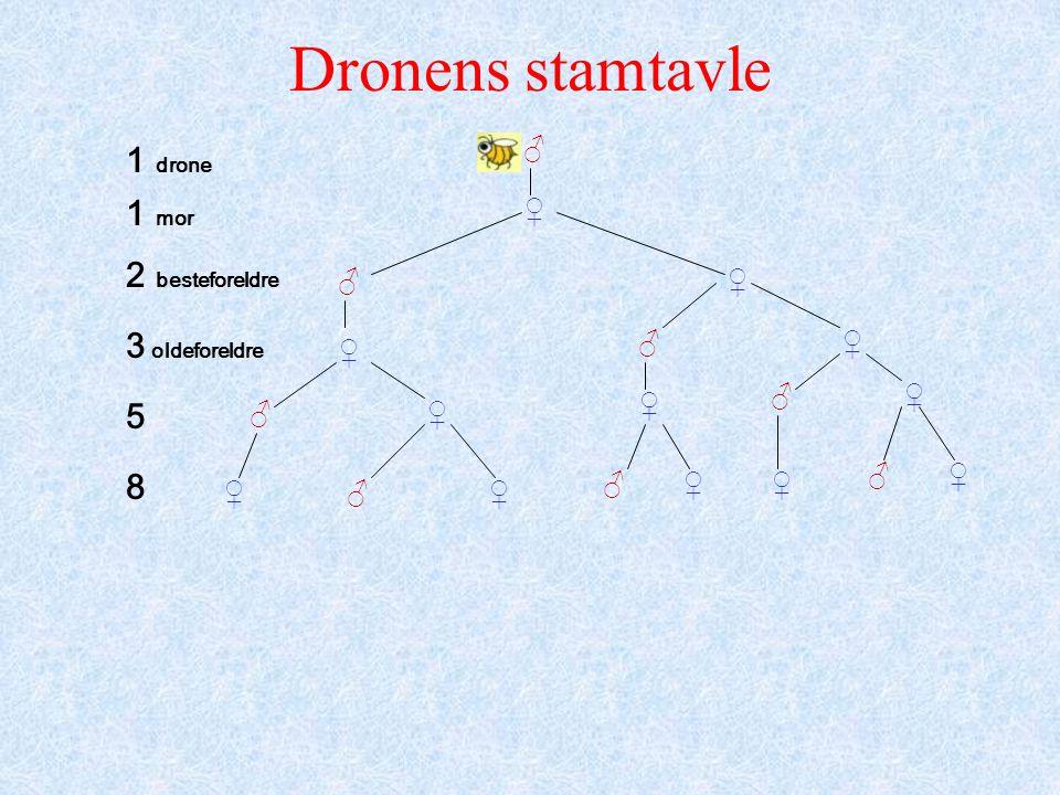Dronens stamtavle ♂ ♂ ♂ ♂ ♂ ♂ ♂ ♂ ♀ ♀ ♀ ♀ ♀ ♀ ♀ ♀ ♀♀ ♀ ♀ 1 drone 1 mor 2 besteforeldre 3 oldeforeldre 5 8