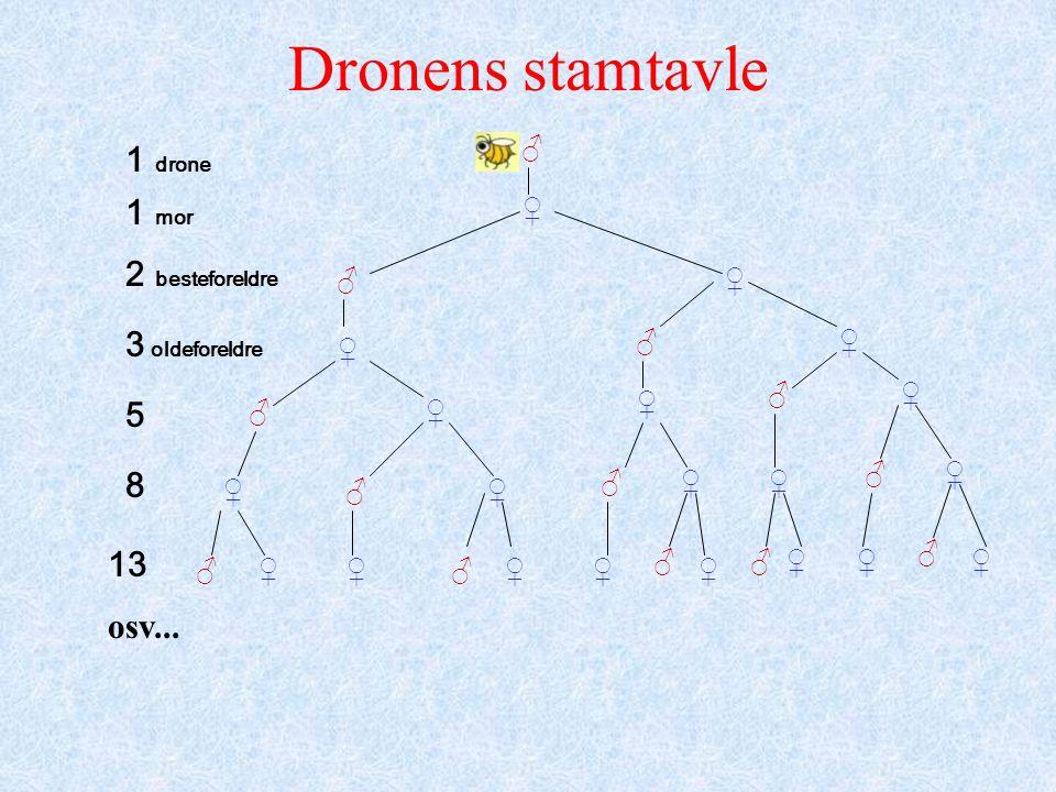 Dronens stamtavle ♂ ♂ ♂ ♂ ♂ ♂ ♂ ♂♂ ♂ ♀ ♀ ♀ ♀ ♀ ♀ ♀ ♀ ♀♀ ♀ ♀ ♀♀♀♀♀ ♀♀♀♂♂ ♂ 1 drone 1 mor 2 besteforeldre 3 oldeforeldre 5 8 13 osv...
