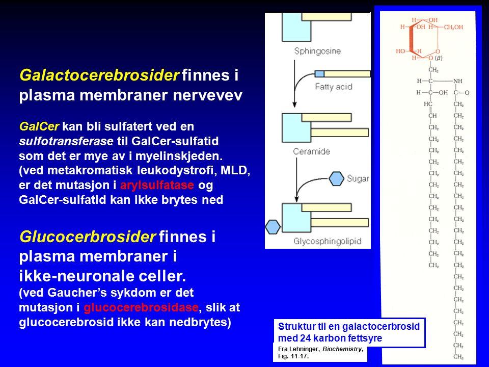 Galactocerebrosider finnes i plasma membraner nervevev GalCer kan bli sulfatert ved en sulfotransferase til GalCer-sulfatid som det er mye av i myelinskjeden.