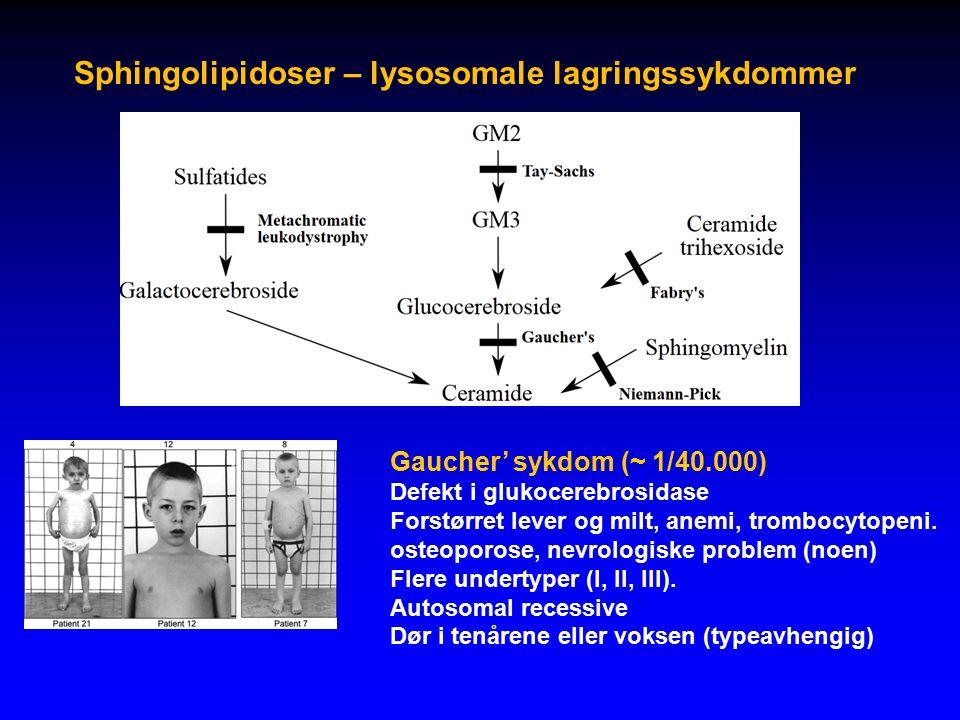 Sphingolipidoser – lysosomale lagringssykdommer Gaucher' sykdom (~ 1/40.000) Defekt i glukocerebrosidase Forstørret lever og milt, anemi, trombocytopeni.