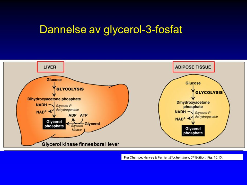 Fra Champe, Harvey & Ferrier, Biochemistry, 3 rd Edition, Fig. 16.13. Glycerol kinase finnes bare i lever Dannelse av glycerol-3-fosfat