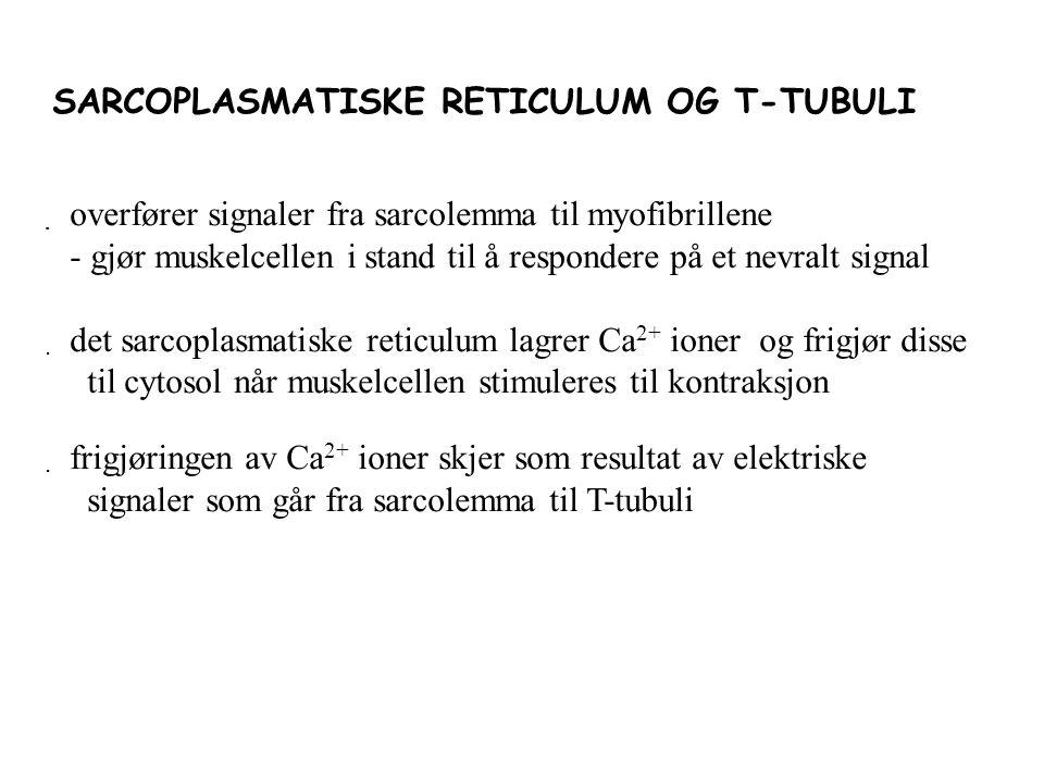 SARCOPLASMATISKE RETICULUM OG T-TUBULI  overfører signaler fra sarcolemma til myofibrillene - gjør muskelcellen i stand til å respondere på et nevralt signal  det sarcoplasmatiske reticulum lagrer Ca 2+ ioner og frigjør disse til cytosol når muskelcellen stimuleres til kontraksjon  frigjøringen av Ca 2+ ioner skjer som resultat av elektriske signaler som går fra sarcolemma til T-tubuli