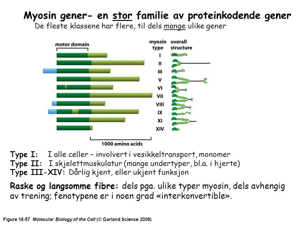 Figure 16-57 Molecular Biology of the Cell (© Garland Science 2008) Myosin gener- en stor familie av proteinkodende gener De fleste klassene har flere, til dels mange ulike gener Type I: I alle celler – involvert i vesikkeltransport, monomer Type II: I skjelettmuskulatur (mange undertyper, bl.a.