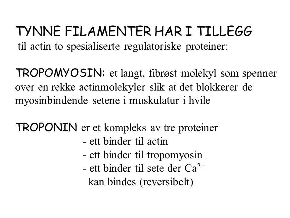 TYNNE FILAMENTER HAR I TILLEGG til actin to spesialiserte regulatoriske proteiner: TROPOMYOSIN: et langt, fibrøst molekyl som spenner over en rekke actinmolekyler slik at det blokkerer de myosinbindende setene i muskulatur i hvile TROPONIN er et kompleks av tre proteiner - ett binder til actin - ett binder til tropomyosin - ett binder til sete der Ca 2+ kan bindes (reversibelt)