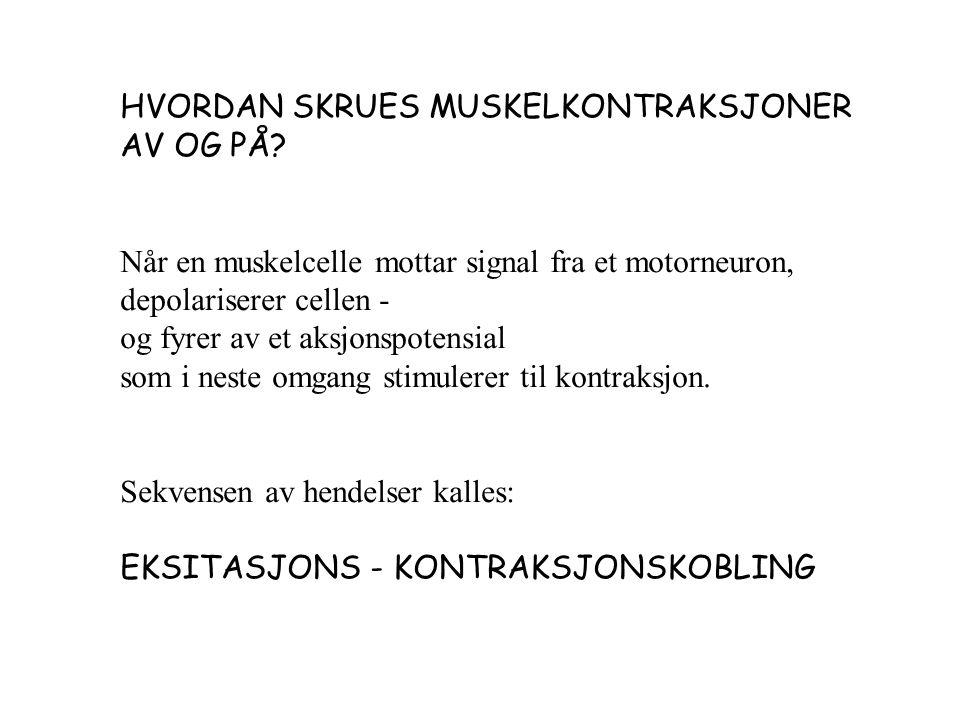 HVORDAN SKRUES MUSKELKONTRAKSJONER AV OG PÅ.
