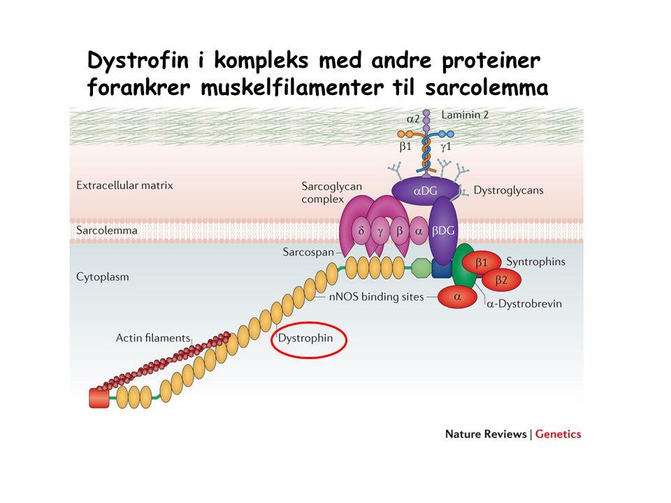 Dystrofin i kompleks med andre proteiner forankrer muskelfilamenter til sarcolemma