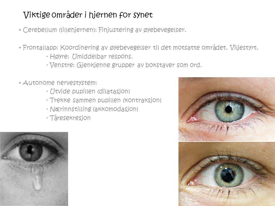 Viktige områder i hjernen for synet Cerebellum (lillehjernen): Finjustering av øyebevegelser.