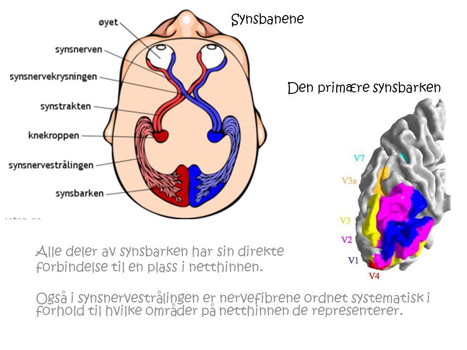 Den primære synsbarken Alle deler av synsbarken har sin direkte forbindelse til en plass i netthinnen.