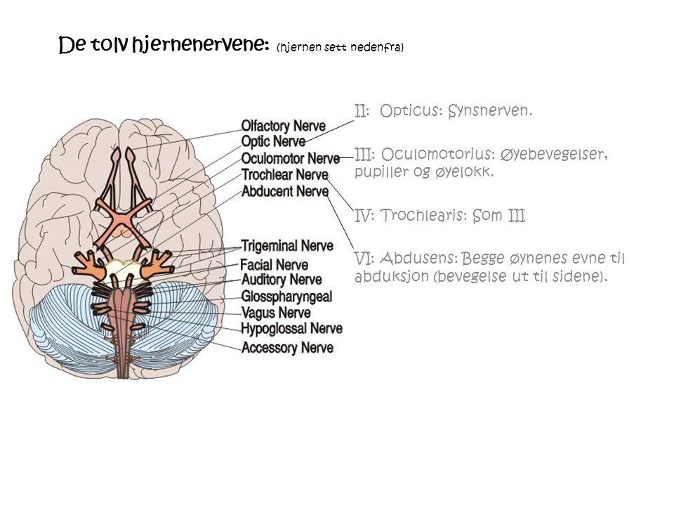 De tolv hjernenervene: (hjernen sett nedenfra) II: Opticus: Synsnerven.