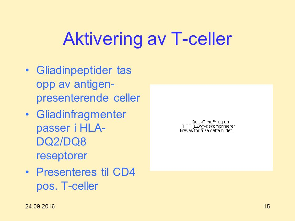 Aktivering av T-celler Gliadinpeptider tas opp av antigen- presenterende celler Gliadinfragmenter passer i HLA- DQ2/DQ8 reseptorer Presenteres til CD4 pos.