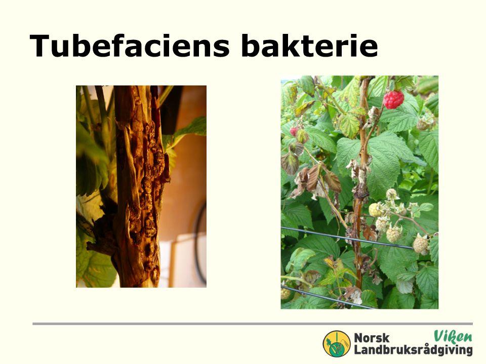 Tubefaciens bakterie
