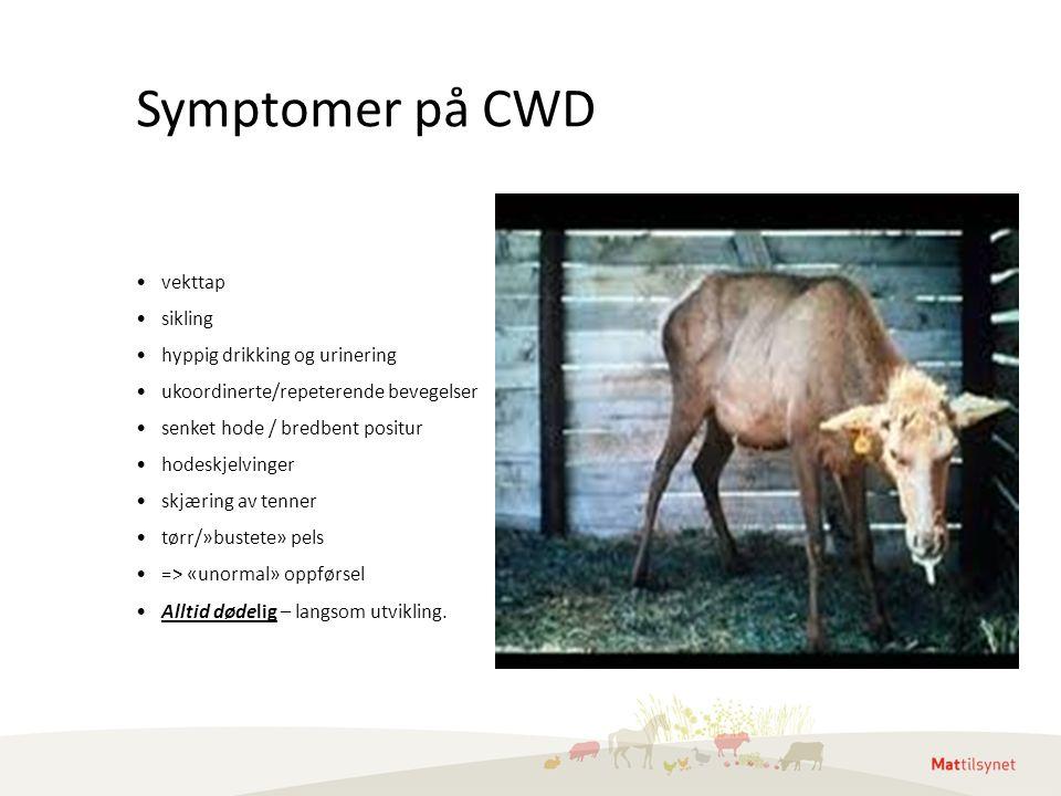 Symptomer på CWD vekttap sikling hyppig drikking og urinering ukoordinerte/repeterende bevegelser senket hode / bredbent positur hodeskjelvinger skjær