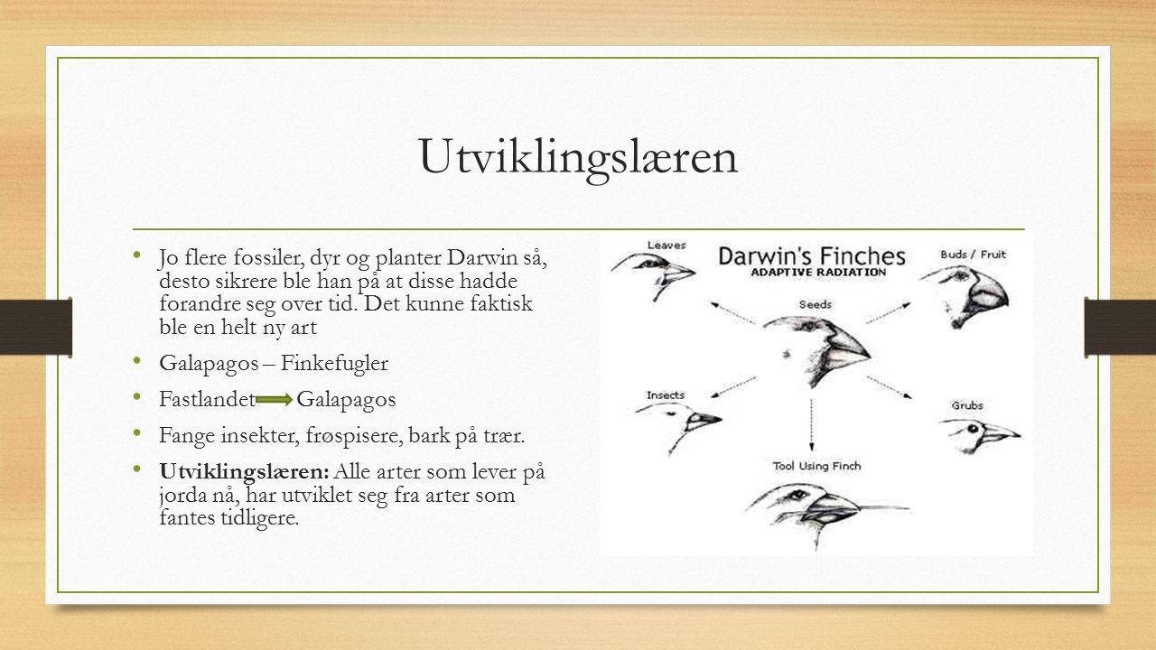 Utviklingslæren Jo flere fossiler, dyr og planter Darwin så, desto sikrere ble han på at disse hadde forandre seg over tid. Det kunne faktisk ble en h
