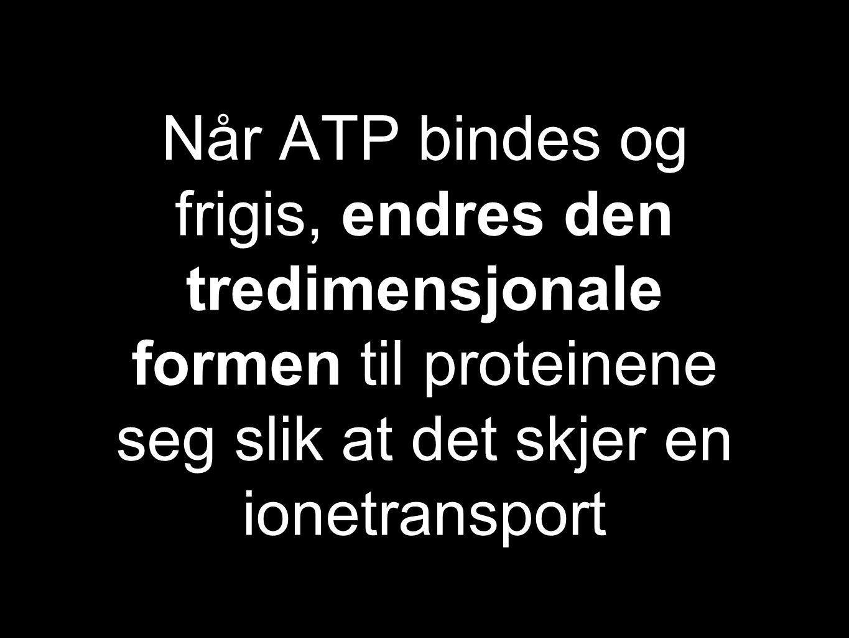 Når ATP bindes og frigis, endres den tredimensjonale formen til proteinene seg slik at det skjer en ionetransport
