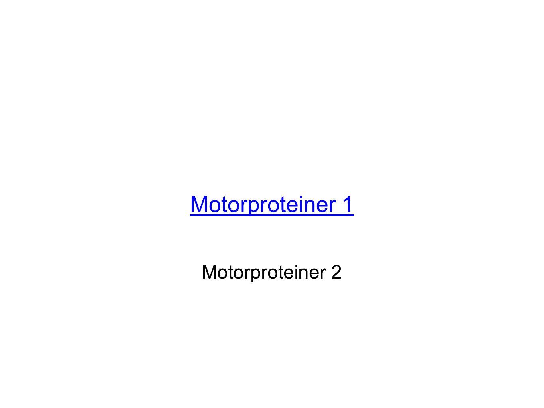 Motorproteiner 1 Motorproteiner 2