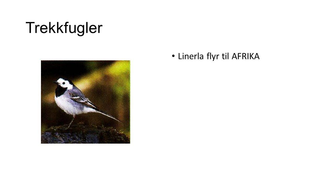 Trekkfugler Linerla flyr til AFRIKA