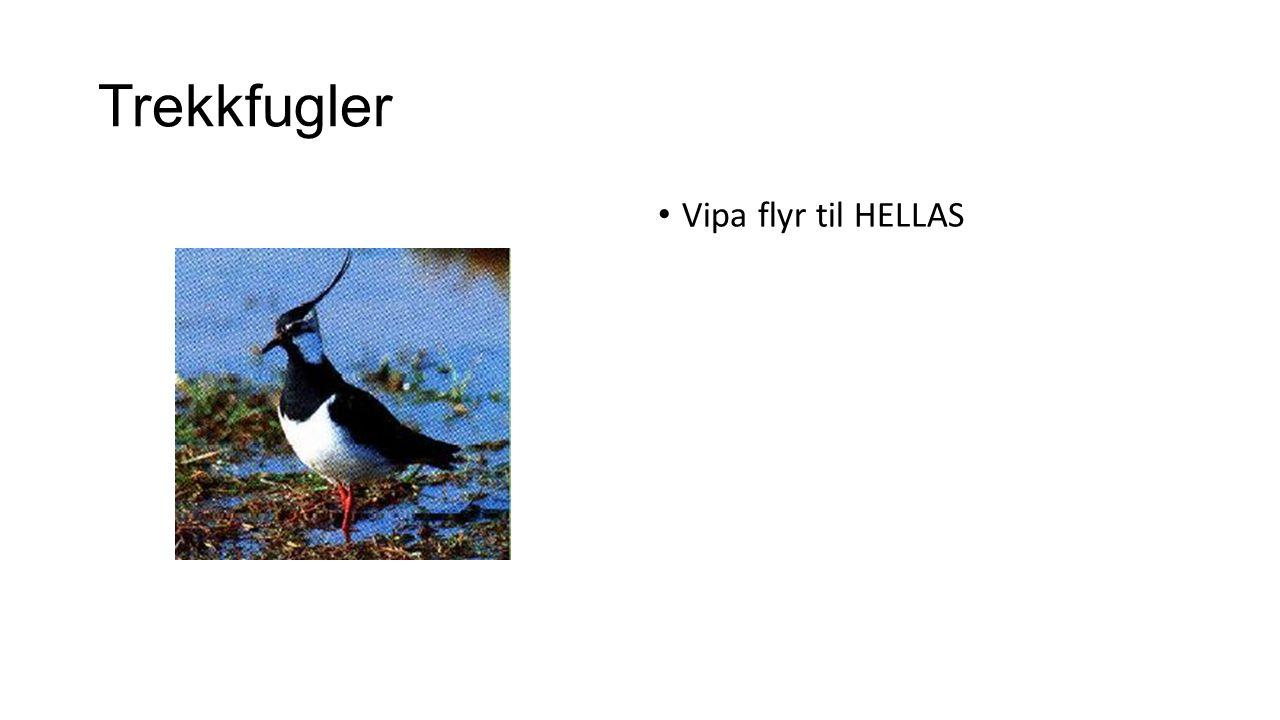 Trekkfugler Vipa flyr til HELLAS
