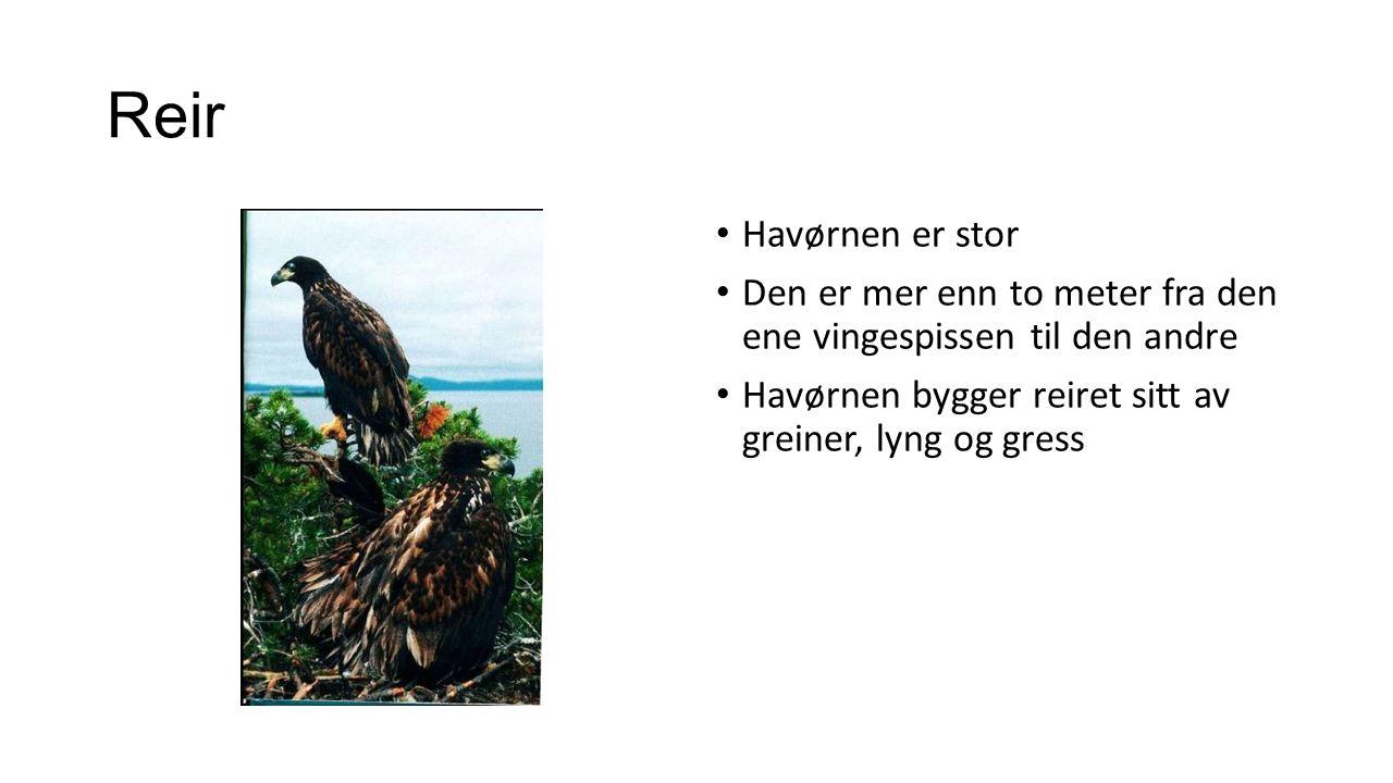 Reir Havørnen er stor Den er mer enn to meter fra den ene vingespissen til den andre Havørnen bygger reiret sitt av greiner, lyng og gress