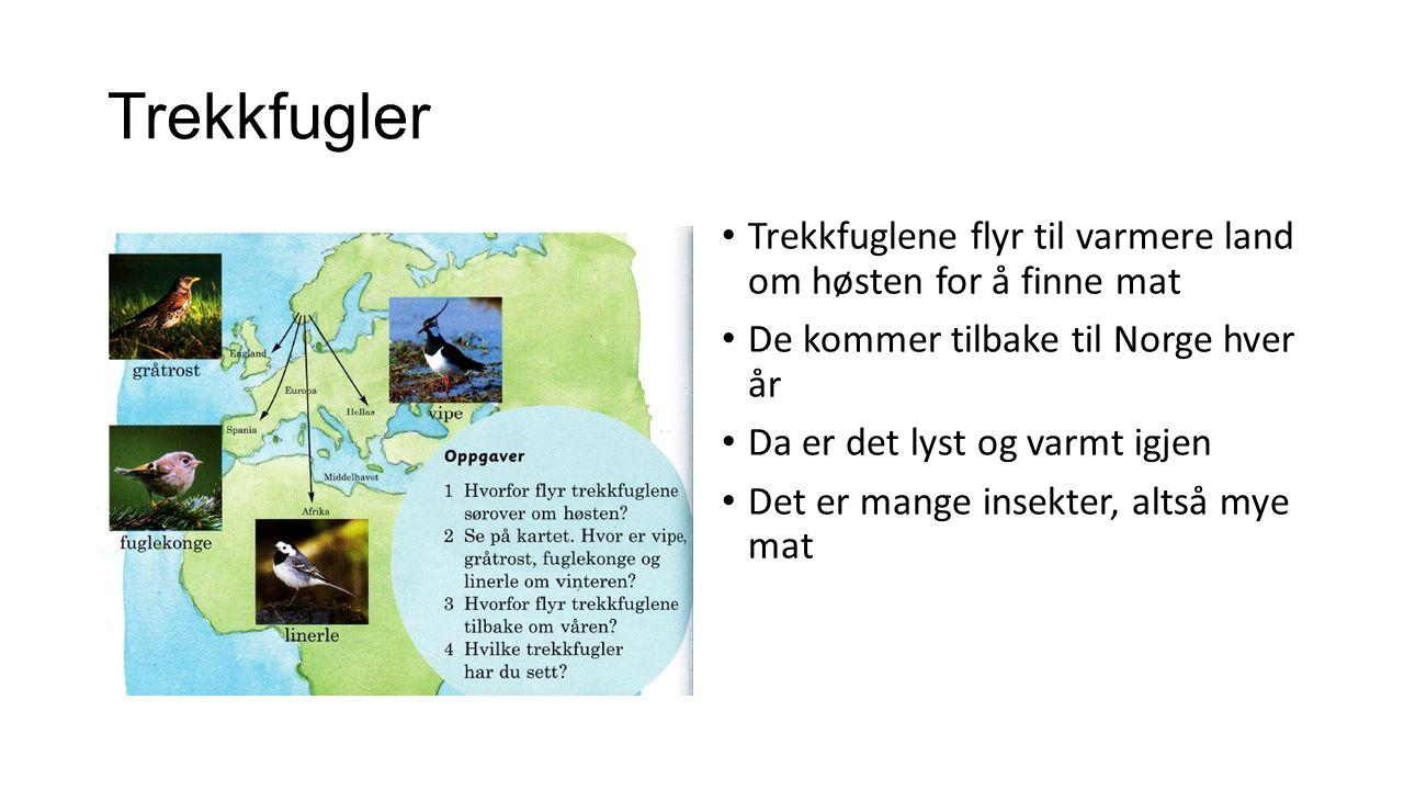 Trekkfugler Trekkfuglene flyr til varmere land om høsten for å finne mat De kommer tilbake til Norge hver år Da er det lyst og varmt igjen Det er mange insekter, altså mye mat