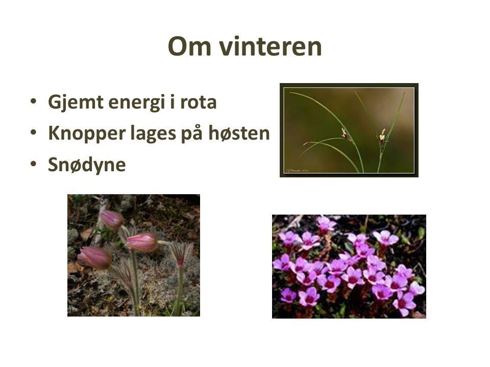 Om vinteren Gjemt energi i rota Knopper lages på høsten Snødyne