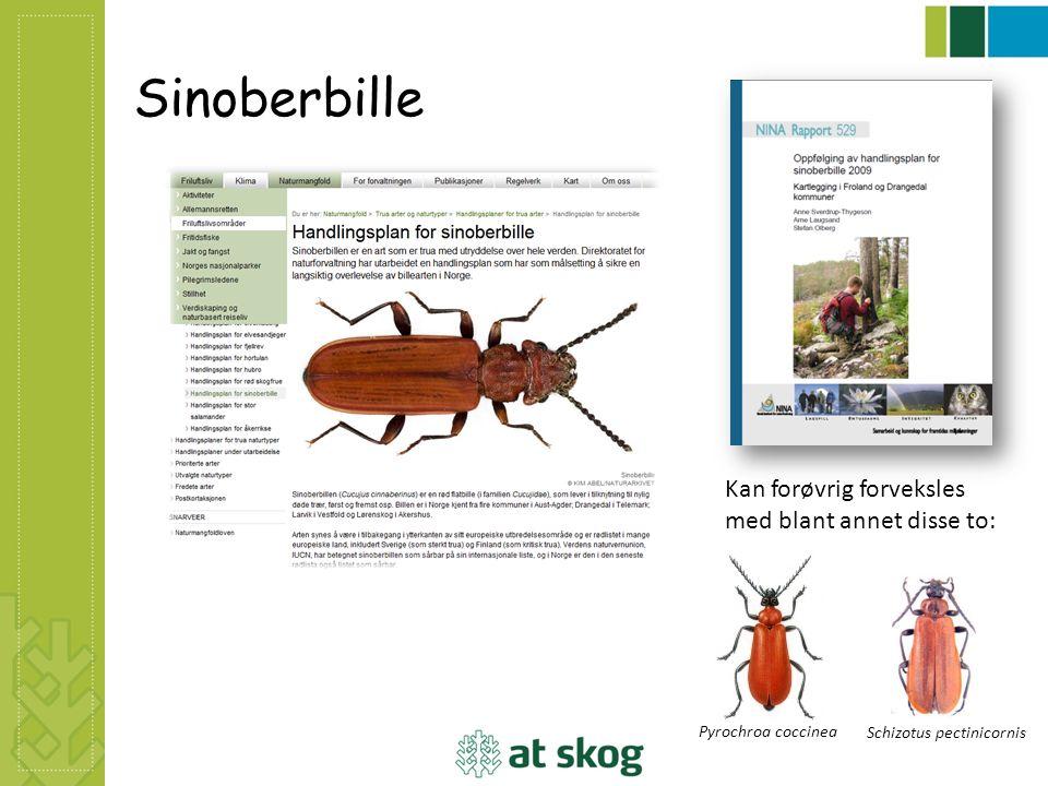 Sinoberbille Pyrochroa coccinea Schizotus pectinicornis Kan forøvrig forveksles med blant annet disse to: