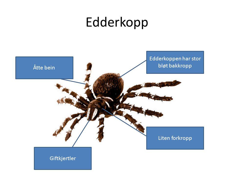 Edderkopp Edderkoppen har stor bløt bakkropp Liten forkropp Åtte bein Giftkjertler