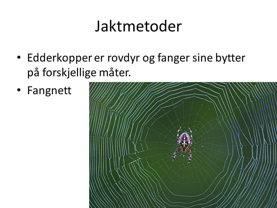 Jaktmetoder Edderkopper er rovdyr og fanger sine bytter på forskjellige måter. Fangnett
