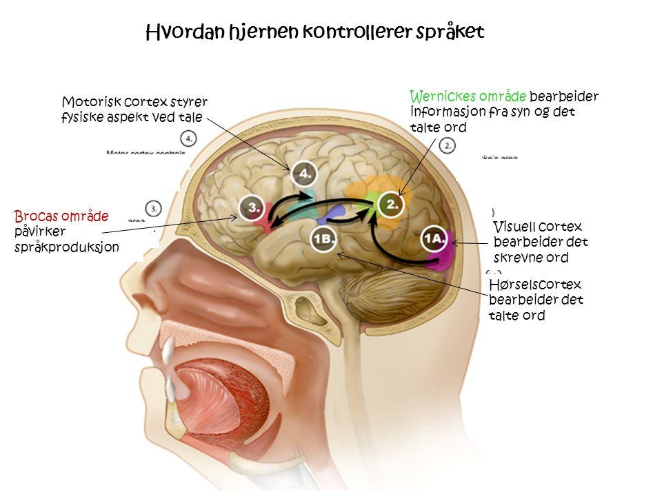 Motorisk cortex styrer fysiske aspekt ved tale Brocas område påvirker språkproduksjon Wernickes område bearbeider informasjon fra syn og det talte ord