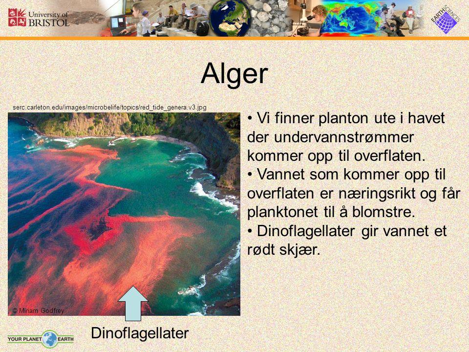 Alger serc.carleton.edu/images/microbelife/topics/red_tide_genera.v3.jpg Vi finner planton ute i havet der undervannstrømmer kommer opp til overflaten.