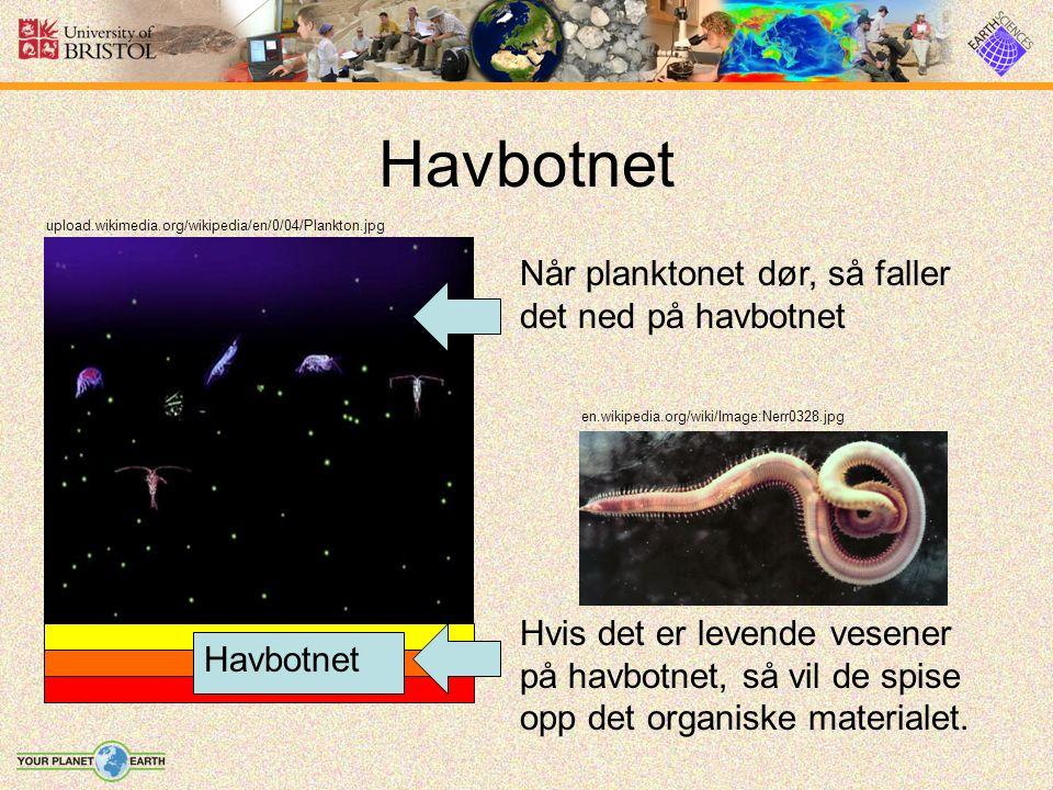Havbotnet upload.wikimedia.org/wikipedia/en/0/04/Plankton.jpg Når planktonet dør, så faller det ned på havbotnet Havbotnet en.wikipedia.org/wiki/Image