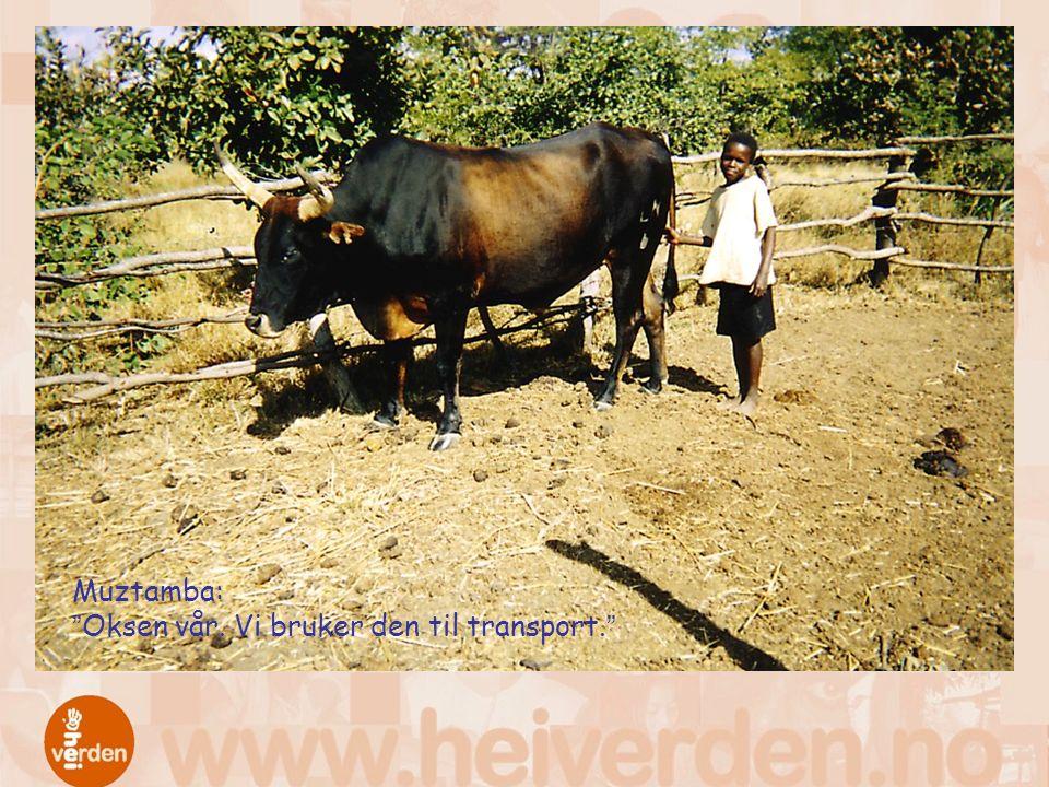 Muztamba: Oksen vår. Vi bruker den til transport.