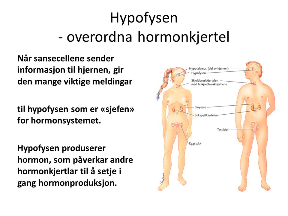 Hypofysen - overordna hormonkjertel Når sansecellene sender informasjon til hjernen, gir den mange viktige meldingar til hypofysen som er «sjefen» for hormonsystemet.