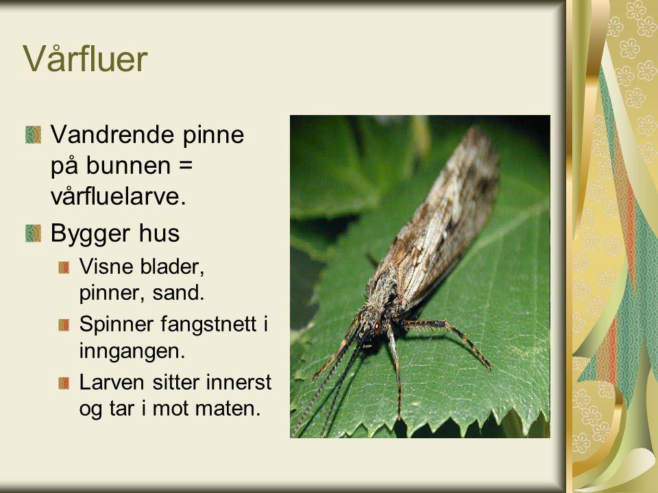 Vårfluer Vandrende pinne på bunnen = vårfluelarve.