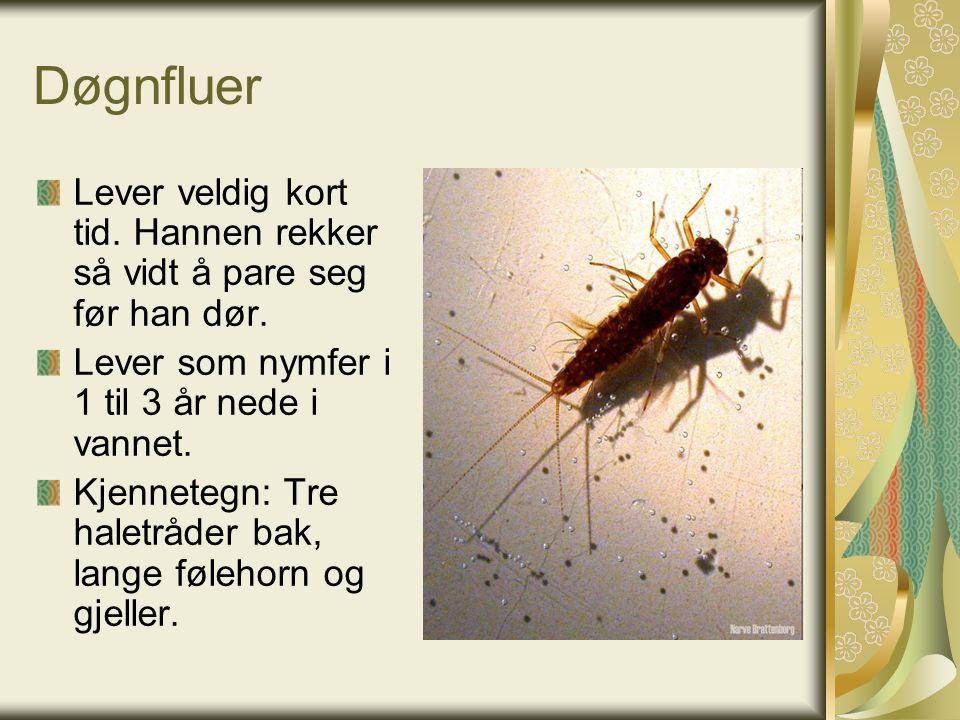 Døgnfluer Lever veldig kort tid. Hannen rekker så vidt å pare seg før han dør.