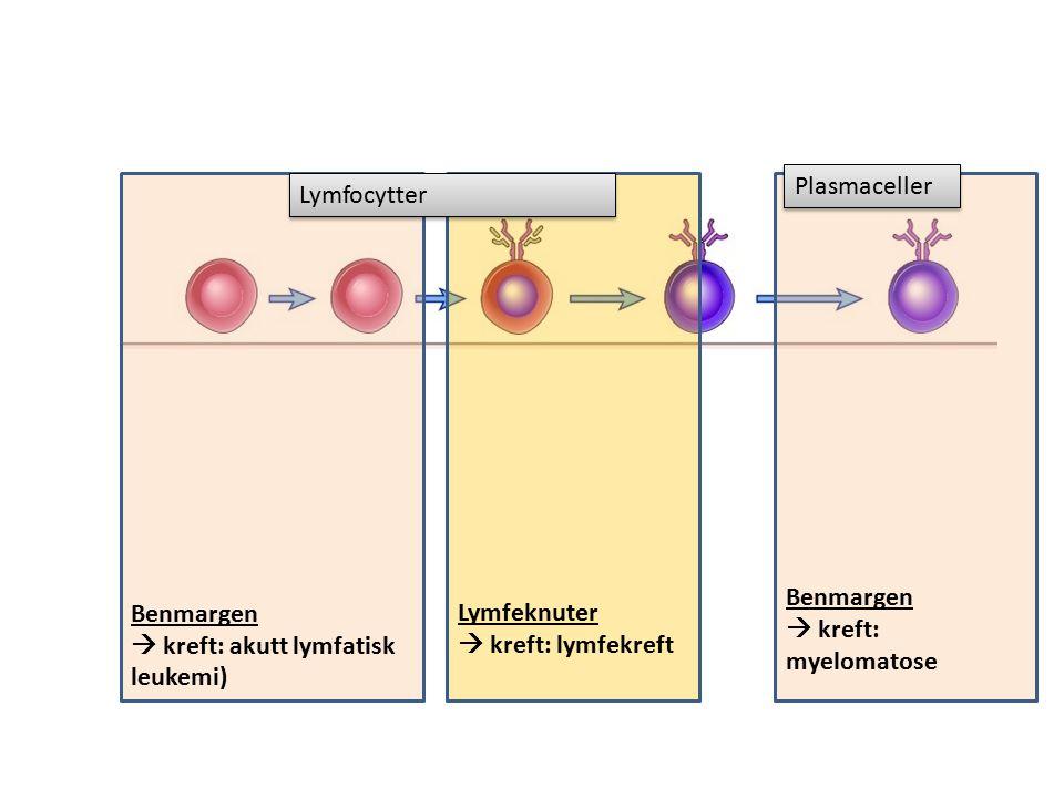 Benmargen  kreft: akutt lymfatisk leukemi) Benmargen  kreft: myelomatose Lymfeknuter  kreft: lymfekreft Lymfocytter Plasmaceller