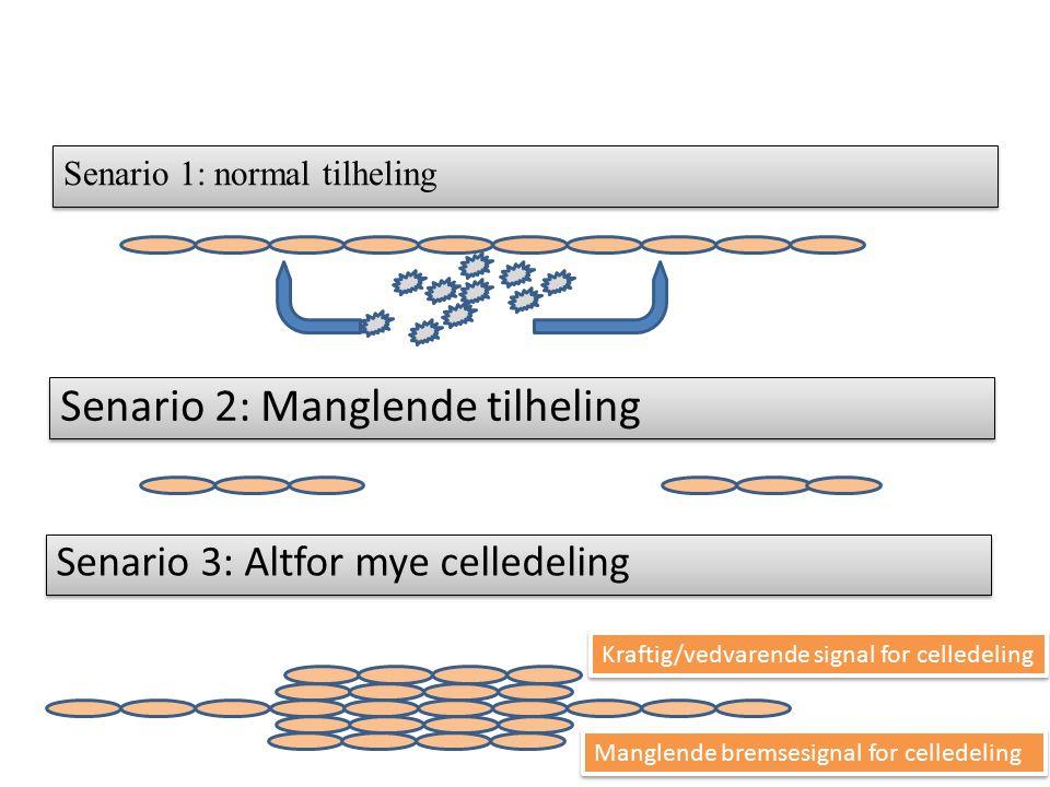 Senario 1: normal tilheling Senario 2: Manglende tilheling Senario 3: Altfor mye celledeling Kraftig/vedvarende signal for celledeling Manglende bremsesignal for celledeling