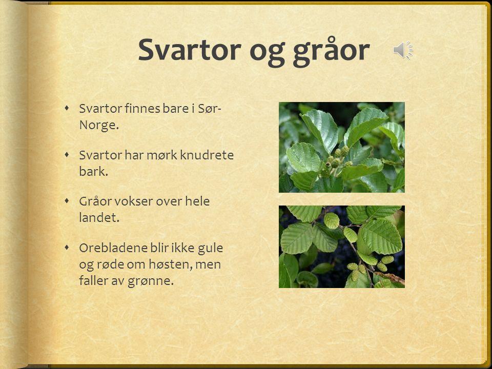 Svartor og gråor  Svartor finnes bare i Sør- Norge.