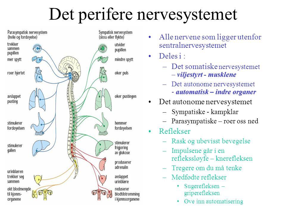 Det perifere nervesystemet Alle nervene som ligger utenfor sentralnervesystemet Deles i : viljestyrt - musklene –Det somatiske nervesystemet – viljest