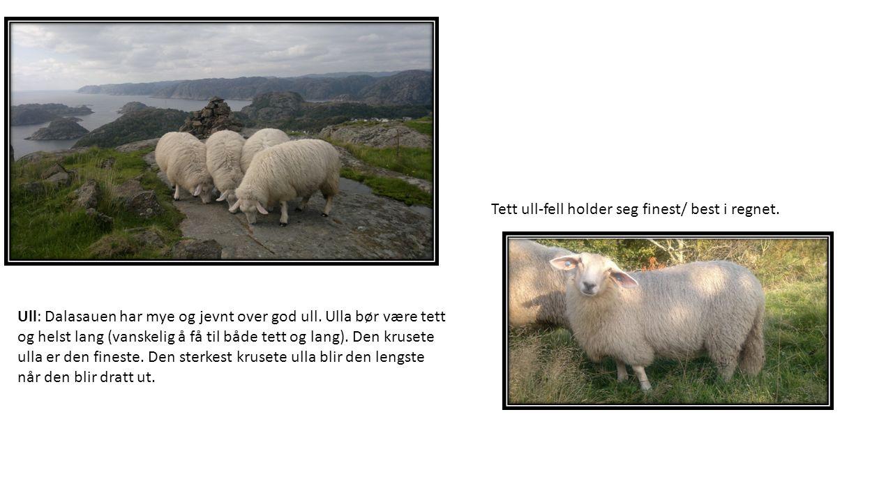 Ull: Dalasauen har mye og jevnt over god ull.